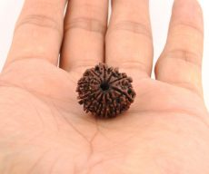 Rudraksha Collection
